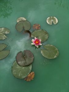 Water Lily in our front pond