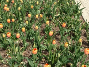 Tulips at the Aboretum